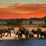 Elephants-at-Sunset